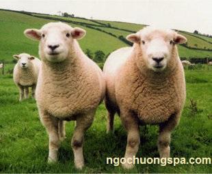Chăm sóc da: Tác dụng làm đẹp của nhau thai cừu